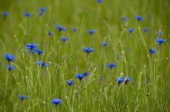 Fleurit le bleuet bleu dans l'herbe verte Photographie stock