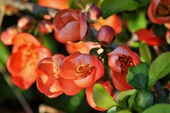 fleurit le chaenomeles Photographie stock libre de droits