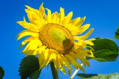 Fleurit le champ de sud d'été Photographie stock