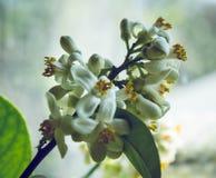 Fleurit le citron image libre de droits