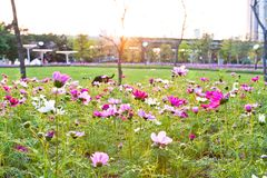 Fleurit le coreopsis fleurissant en parc de ville Images stock