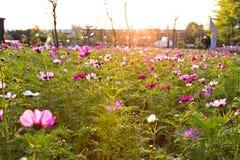 Fleurit le coreopsis fleurissant en parc de ville Photo libre de droits