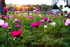 Fleurit le coreopsis fleurissant en parc de ville Image libre de droits