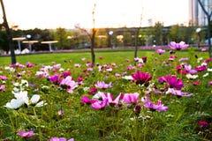 Fleurit le coreopsis fleurissant en parc de ville Photographie stock libre de droits