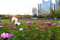 Fleurit le coreopsis fleurissant en parc de ville Photo stock