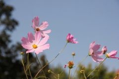 Fleurit le cosmos Image libre de droits
