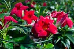 Fleurit le dipladenia Photographie stock