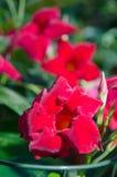 Fleurit le dipladenia Photographie stock libre de droits