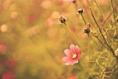 Fleurit le fond - fleur de cosmos Photographie stock libre de droits