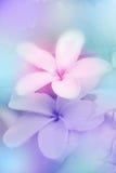 fleurit le frangipani Image libre de droits