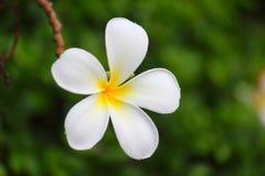 fleurit le frangipani Images libres de droits