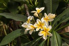 fleurit le frangipani Photographie stock