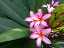 fleurit le frangipani Images stock