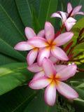 fleurit le frangipani Photographie stock libre de droits