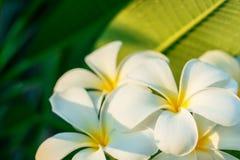 fleurit le frangipani Image stock