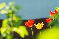 Fleurit le jardin de tulipes au printemps, Image stock
