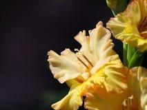 fleurit le jaune de lis Photographie stock