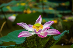 Fleurit le lotus : Nucifera Gaertn, Lotus de Nelumbo Photographie stock