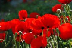 Fleurit le pavot Photos libres de droits