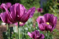 Fleurit le pavot Photo stock