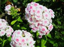 Fleurit le phlox blanc Images libres de droits