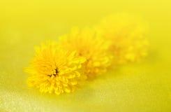 Fleurit le pissenlit Photo libre de droits