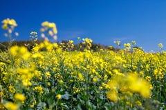 Fleurit le plan rapproché de sarrasin Photo libre de droits