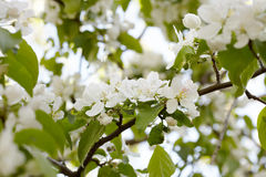Fleurit le pomme-arbre Photographie stock libre de droits