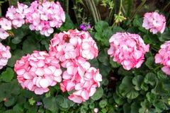 fleurit le rose de géranium image stock