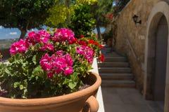 fleurit le rose de géranium Images libres de droits