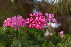 fleurit le rose de géranium Photographie stock libre de droits