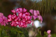fleurit le rose de géranium Photos libres de droits