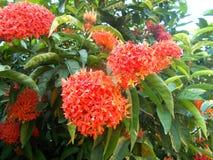 fleurit le rouge d'ixora Photos libres de droits