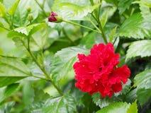 fleurit le rouge de ketmie Photographie stock libre de droits