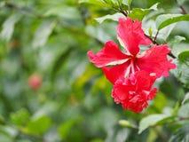fleurit le rouge de ketmie Images stock