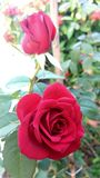 fleurit le rouge s'est levé Image stock