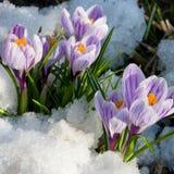 Fleurit le safran pourpré dans la neige Photos stock