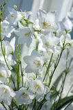 Fleurit les cloches blanches - Campanula Photographie stock
