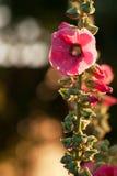 Fleurit les mauves rouges 2 Photographie stock libre de droits