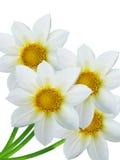 Fleurit les pétales blancs Images libres de droits