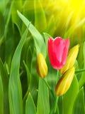 Fleurit les pétales jaunes rouges de tulipes Images stock