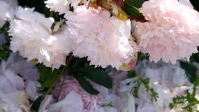 Fleurit o au-dessus d'un lit des pétales avec des gouttes de pluie Photos stock
