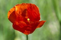 Fleurit plan rapproché de fleur de nature de pavot le macro Photos stock