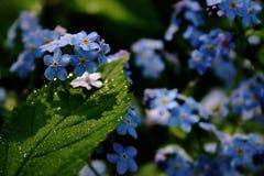 Fleurit un myosotis des marais photos stock
