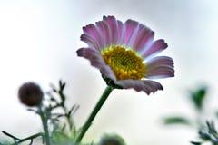 Fleuron de pré Photographie stock
