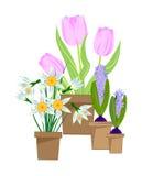 Fleurs à bulbes de ressort dans des pots Image libre de droits