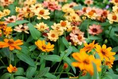 Fleurs élégantes de beau zinnia orange sur des feuilles de vert et des fleurs merveilleuses de tache floue Image libre de droits