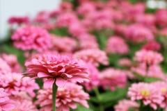 Fleurs élégantes de beau zinnia rose sur des feuilles de vert et des fleurs merveilleuses de tache floue Images stock