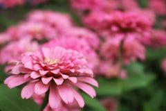 Fleurs élégantes de beau zinnia rose sur des feuilles de vert et des fleurs merveilleuses de tache floue Photo libre de droits