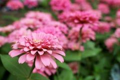 Fleurs élégantes de beau zinnia rose sur des feuilles de vert et des fleurs merveilleuses de tache floue Photographie stock